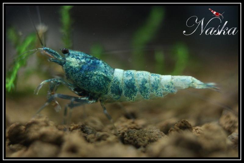 """Caridina cf  cantonensis var. """"taiwan bee Blue Bolt"""" 0422"""