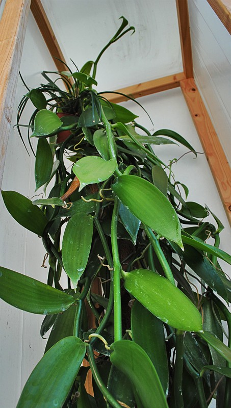 Vanilla Planifolia Dsc_0110