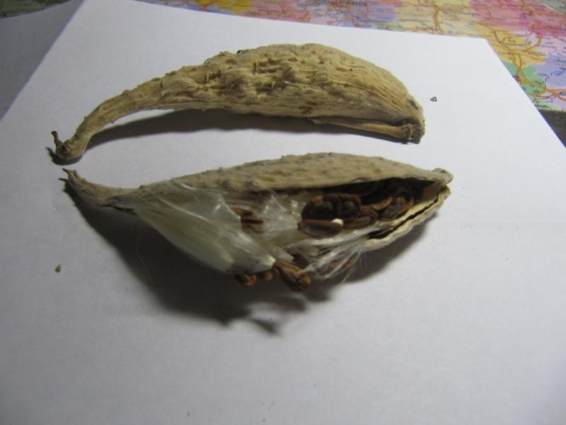 L' arbre à perruque- cotinus coggygria ou cotinus obovatus Graine10