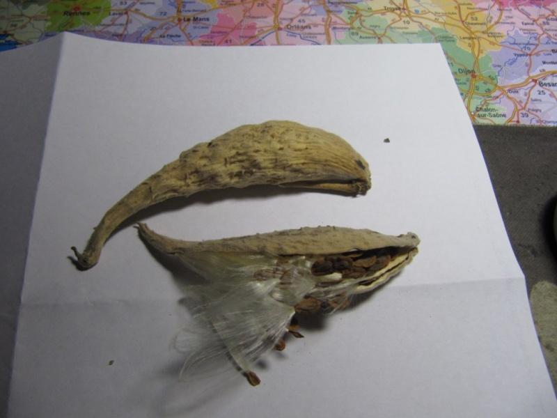 L' arbre à perruque- cotinus coggygria ou cotinus obovatus Graine11