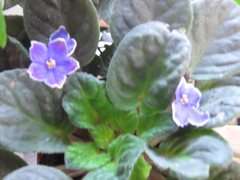 Les violettes africaines / violettes du cap(Saint Paulia). Entretien, espèces, des photos. Img_1022