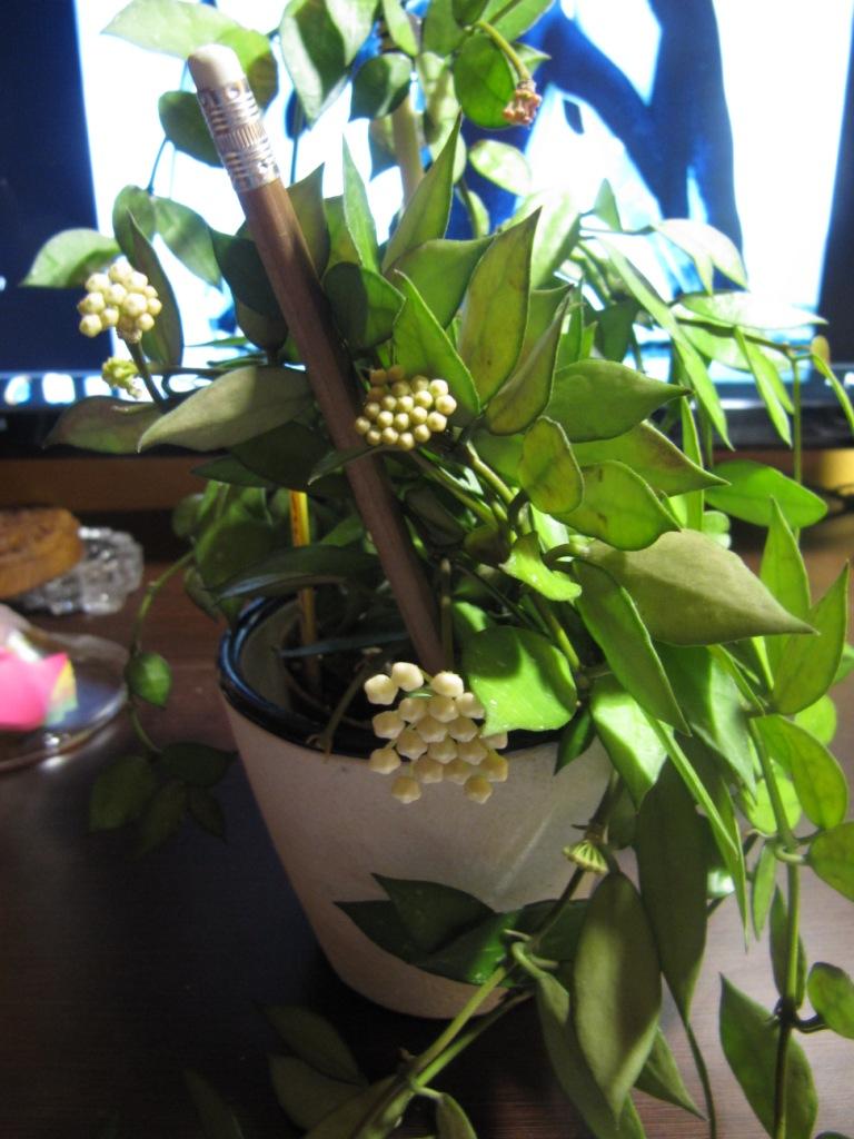 floraison de Hoya lacunosa  Lacuno10