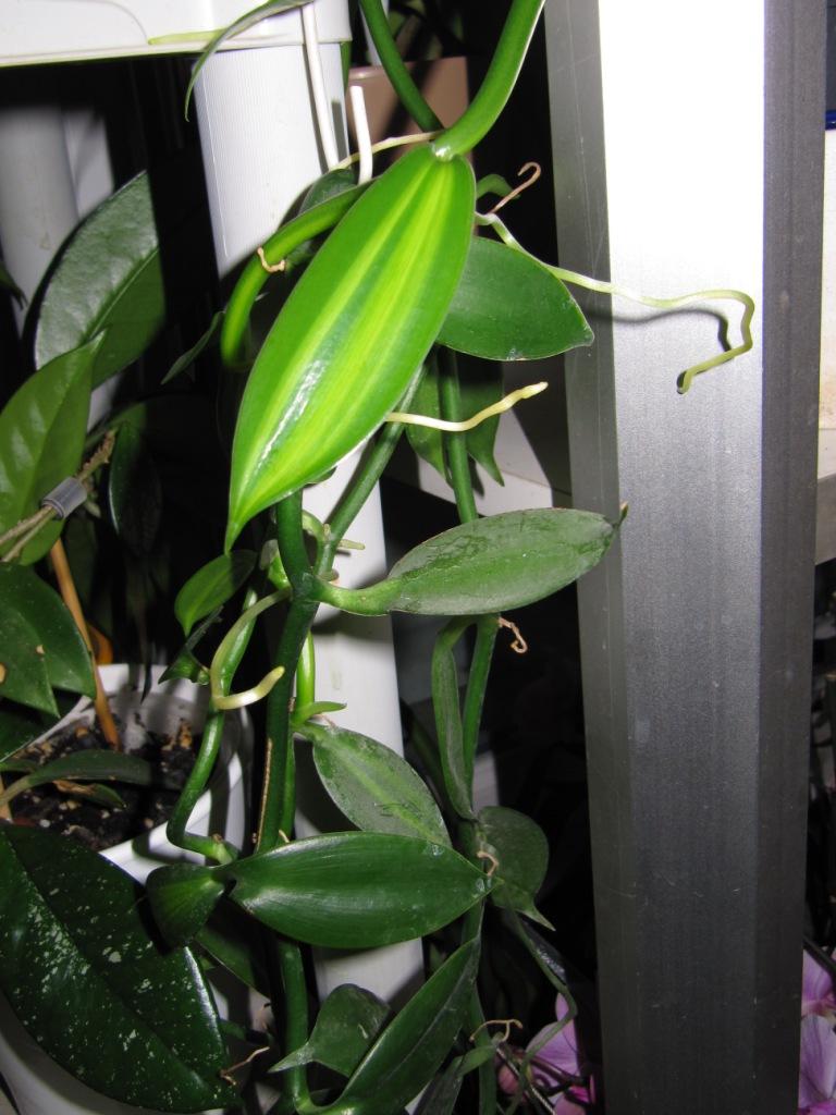 Culture et Entretien de la Vanilla Planifolia - Page 2 Les_va11