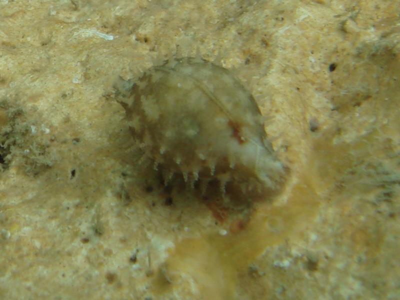 Pustularia cicercula - (Linnaeus, 1758) - Live Co_59510