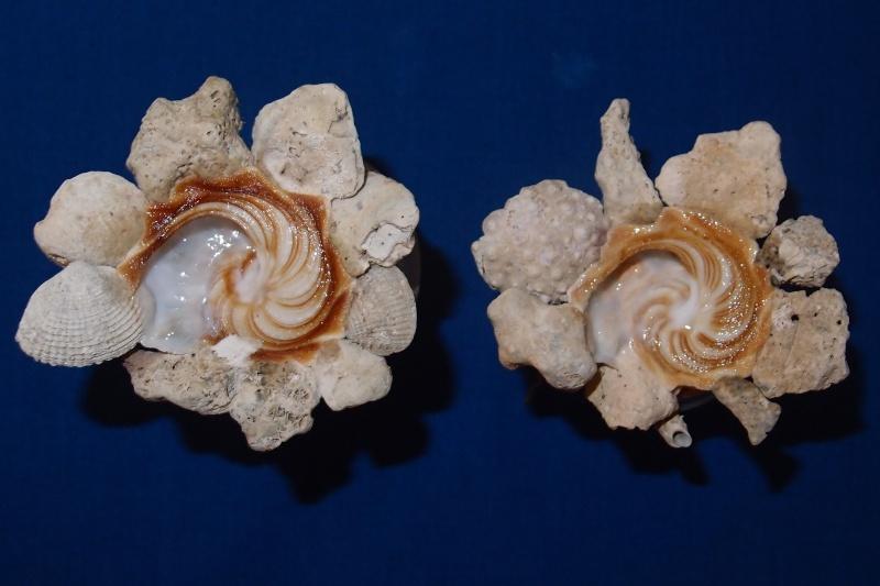 Xenophora cerea - (Reeve, 1845) Pb260510