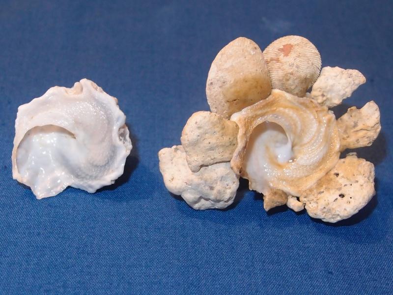 Xenophora cerea - (Reeve, 1845) Pb270510