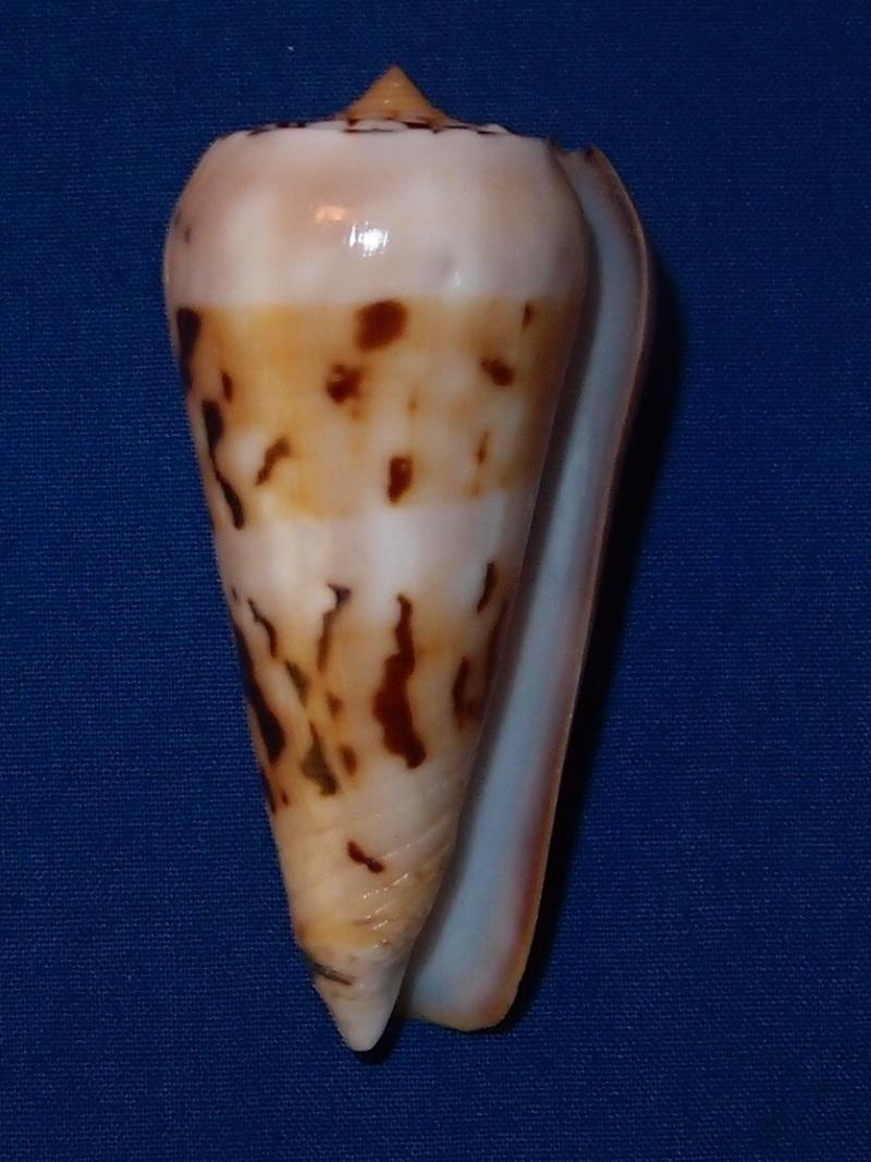 Conus (Pionoconus) pramparti  Leehman, 1976 voir  Conus (Pio.) gubernator Pb290515