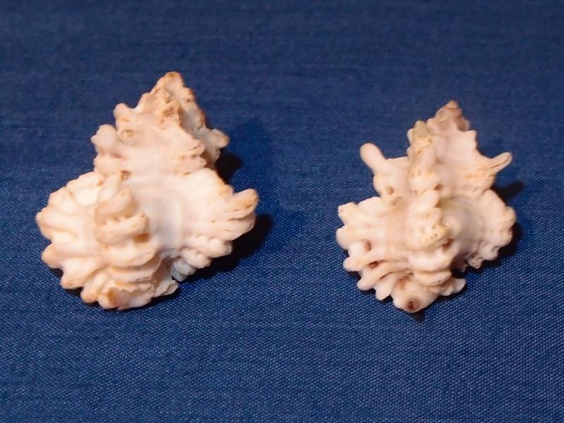 Favartia brevicula - (G. B. Sowerby II, 1834) Pb300516