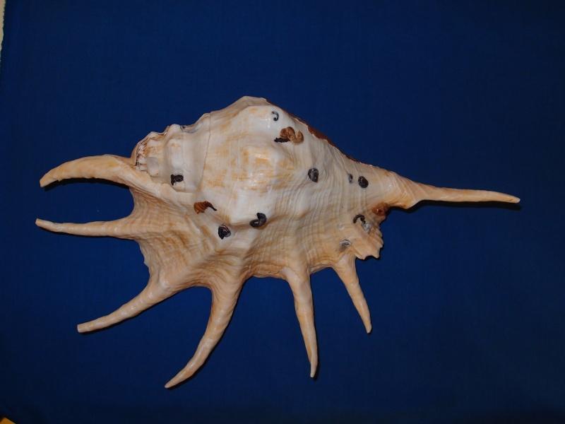 Lambis truncata - ([Lightfoot], 1786)  Pc020614