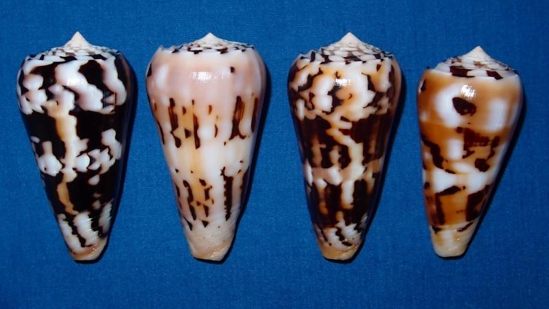 Conus (Pionoconus) pramparti  Leehman, 1976 voir  Conus (Pio.) gubernator - Page 2 Pc030610