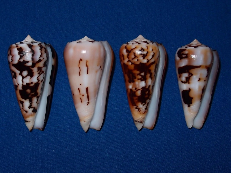 Conus (Pionoconus) pramparti  Leehman, 1976 voir  Conus (Pio.) gubernator - Page 2 Pc030611