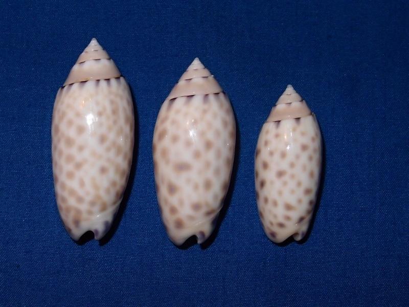 Annulatoliva maculata (Duclos, 1840) - Worms = Oliva maculata Duclos, 1840 Pc030614