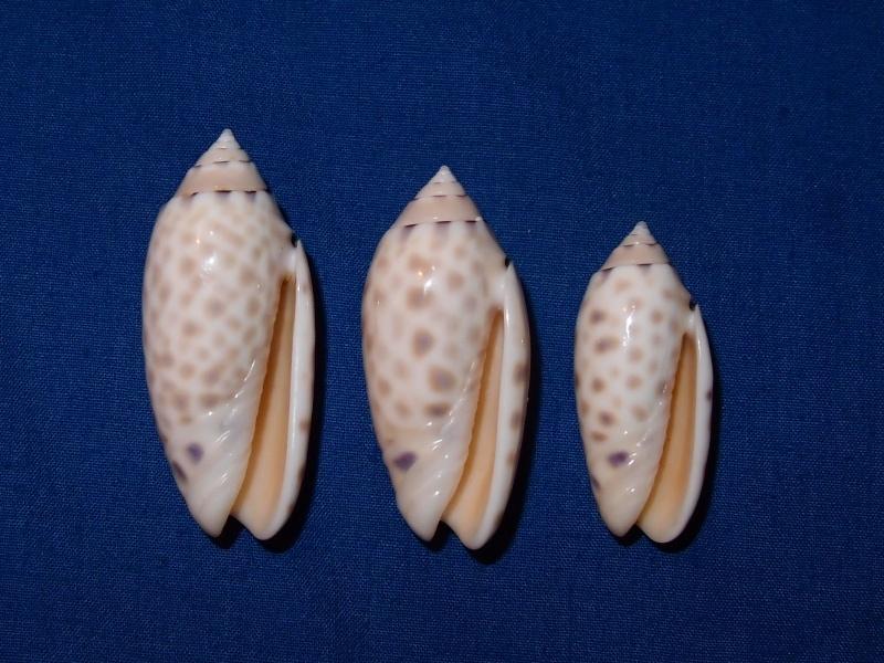 Annulatoliva maculata (Duclos, 1840) - Worms = Oliva maculata Duclos, 1840 Pc030615