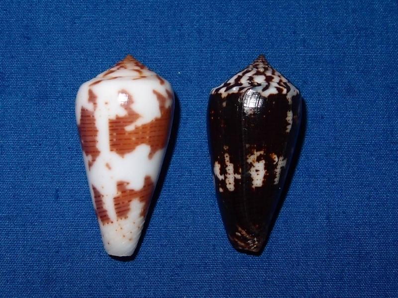 Conus (Pionoconus) magus   Linnaeus, 1758 Pc040610
