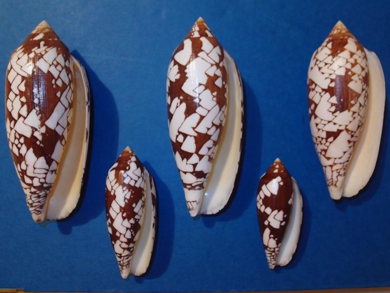 Conus (Darioconus) aulicus   Linnaeus, 1758 - Page 3 Pc100718