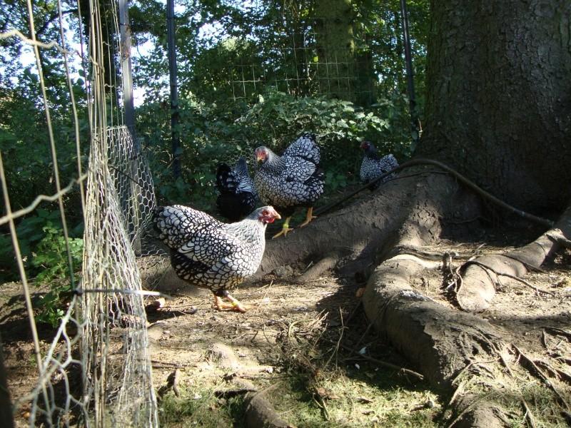 présentation de mes poulettes wyandottes a liseré noir Dsc00712