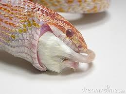 serpent avalant une souris Serpen10