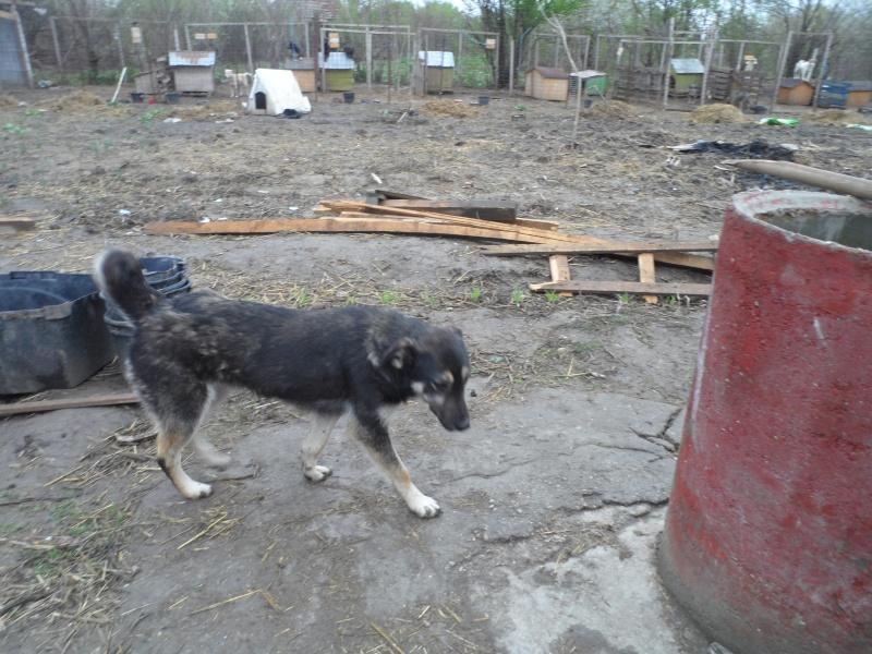 EVORA, croisée berger, née en 2009 - Trouvée dans la cour d'une entreprise en 2012 - parrainée par Sky 30 - FB-SOS-SC-R- 15_11459