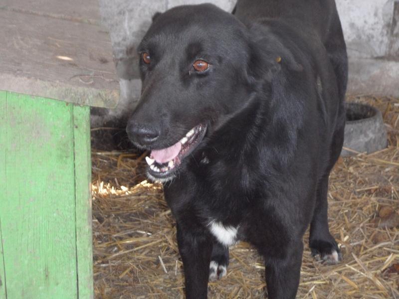 HOPE, née en 2008, croisé labrador parrainée par Nathalie Gamblin- R - VV-SC-SOS-FB - LBC - 15_11501