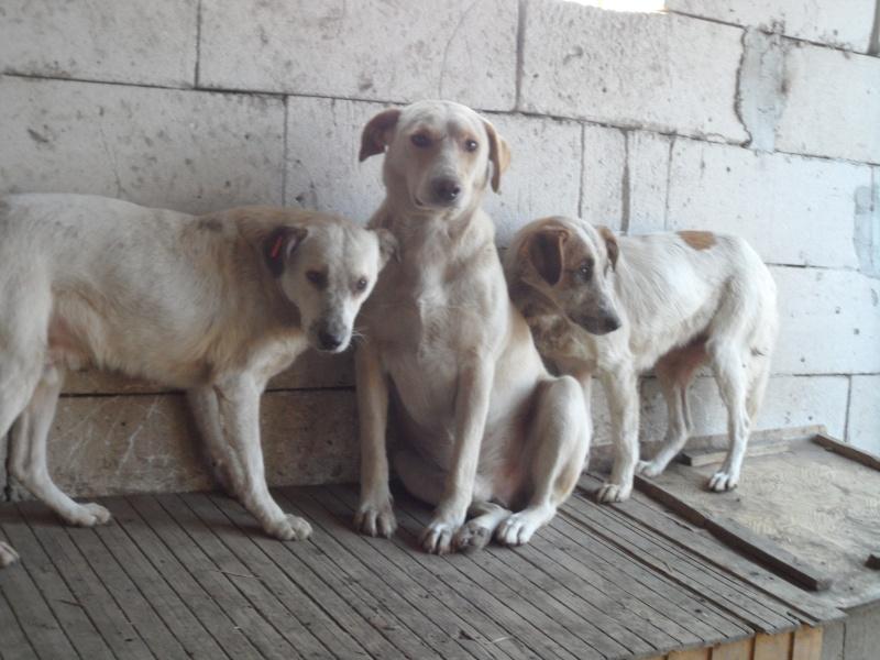 fata - FATA, née le 12/06/2009, arrivée chiot au refuge (soeur de Mickey et fille de Tara) - en FA dans le 49 - GARANT - SOS -R-FB-SC-30MA Pictur80