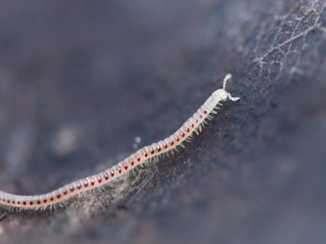 Symphyles ou pauropodes??? _dsc0122