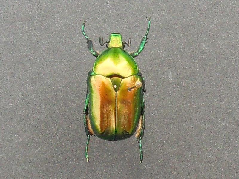[P.(Eupotosia) affinis] hesitation cétoine Sdc18310