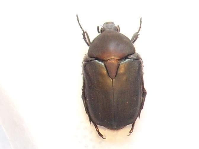 [P.(Eupotosia) affinis] hesitation cétoine Sdc18311