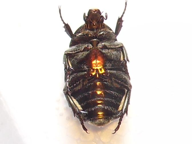 [P.(Eupotosia) affinis] hesitation cétoine Sdc18312