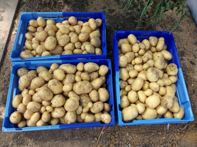 plants de patates - Page 17 20180825