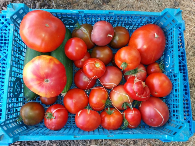 Tomates 2018 - Page 9 20180826