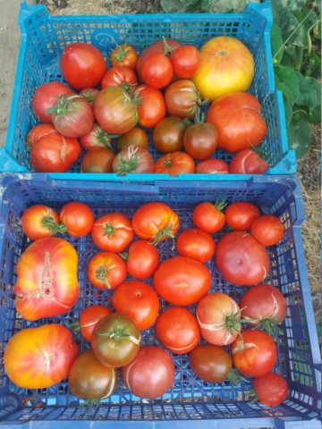 Tomates 2018 - Page 10 20180827