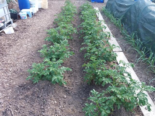 plants de patates - Page 17 20180834
