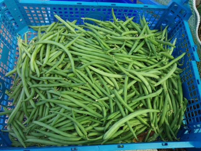 haricot vert - Page 15 20180849