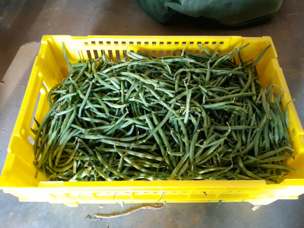 haricot vert - Page 17 20190813