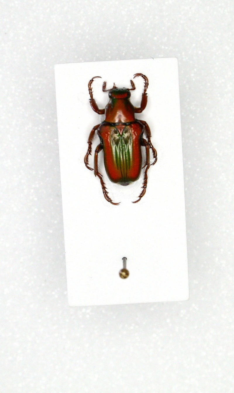 [Pygora pulchripes] Cétoine malgache 1 Img_9819