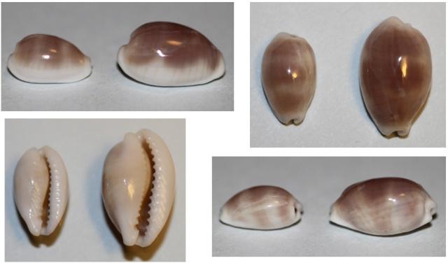 Palmadusta clandestina clandestina - (Linnaeus, 1767) representé par Palmadusta clandestina - (Linnaeus, 1767) Clande12