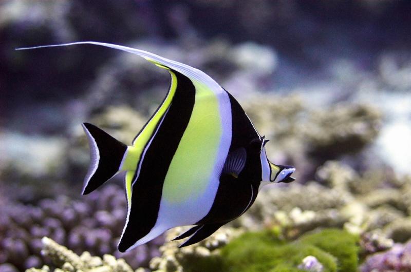 Quel poisson rêvez-vous de possèder? Zanclu10