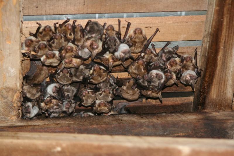 Suivis de la mise-bas des chauves-souris - Cuvée 2012 Img_2614