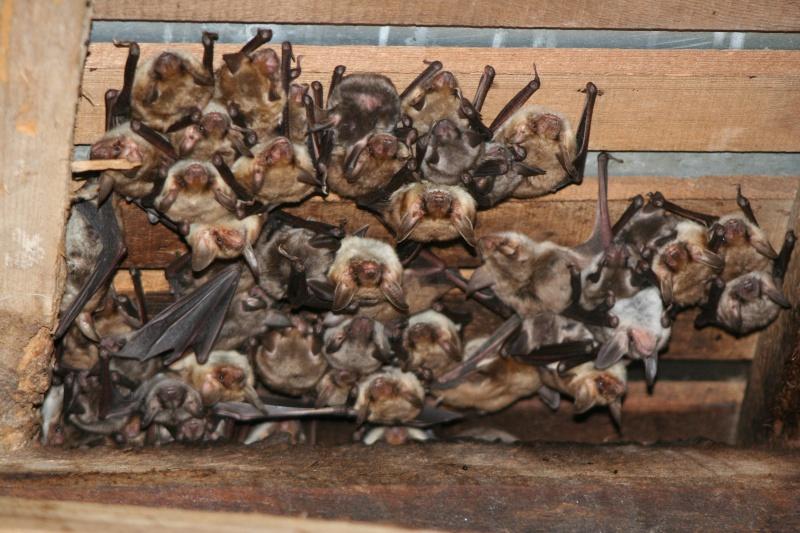 Suivis de la mise-bas des chauves-souris - Cuvée 2012 Img_2615