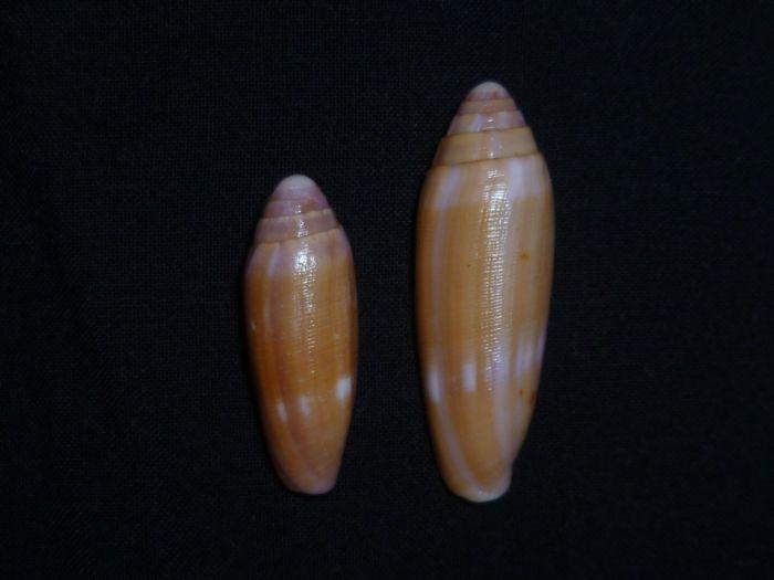 Conus (Leporiconus) tenuistriatus  GB Sowerby II, 1858 P1020211