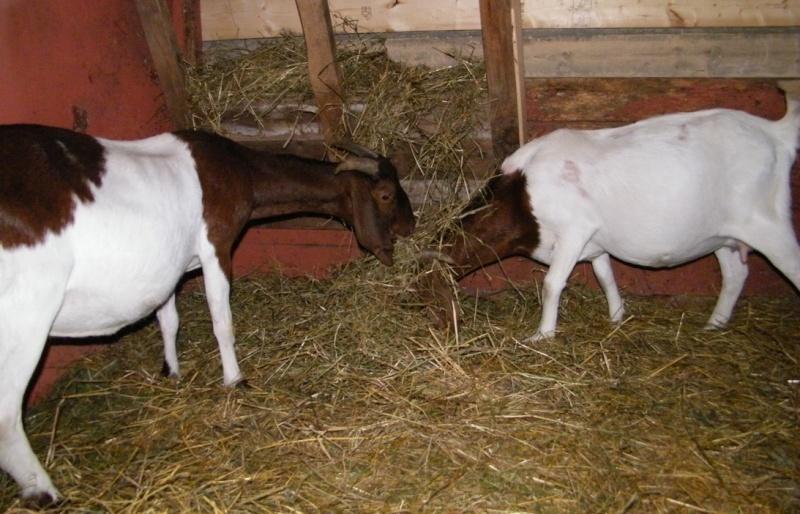 Mes nouvelles chèvres Chevre10