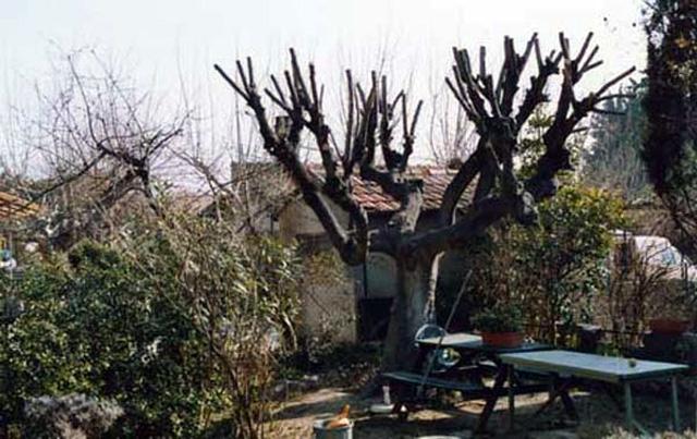 Planter, entretenir et multiplier un figuier- Ficus carica-  Le_fig10