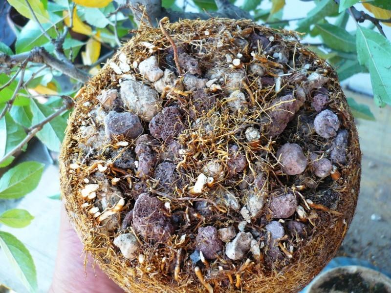 melo a cascata - Melo da seme in cascata. P1060626