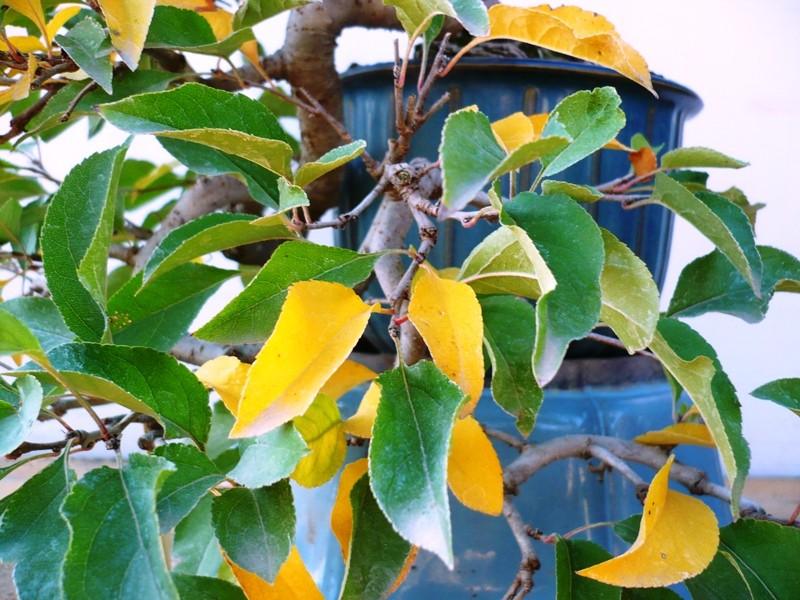 melo a cascata - Melo da seme in cascata. P1060628