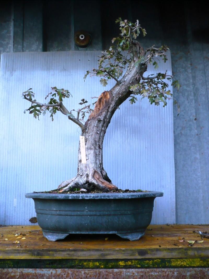 Un biancospino che diventa bonsai...... - Pagina 3 P1060818