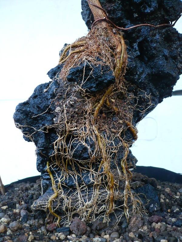 Un futuro bonsai.....acero su roccia. P1060918