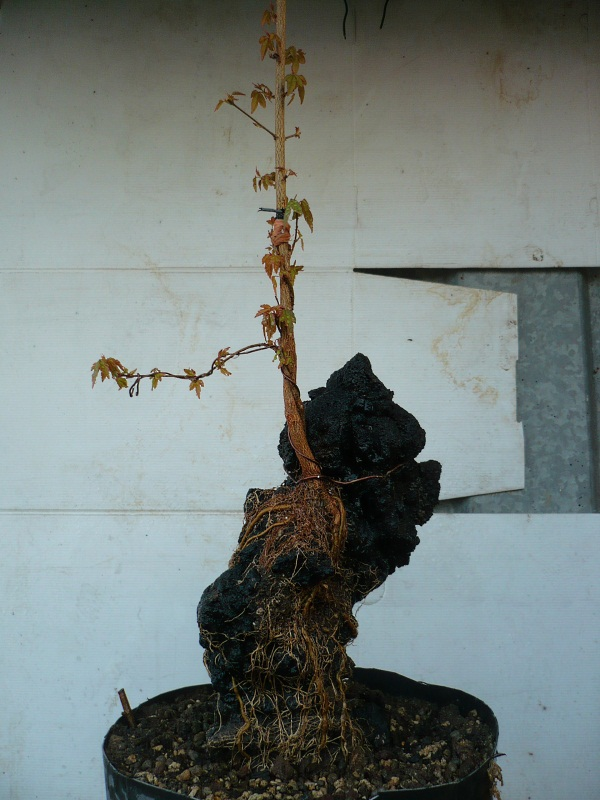 Un futuro bonsai.....acero su roccia. P1060919