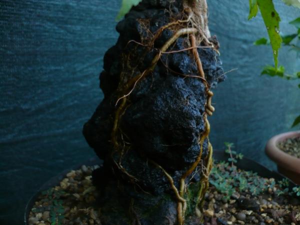 Un futuro bonsai.....acero su roccia. P1070114