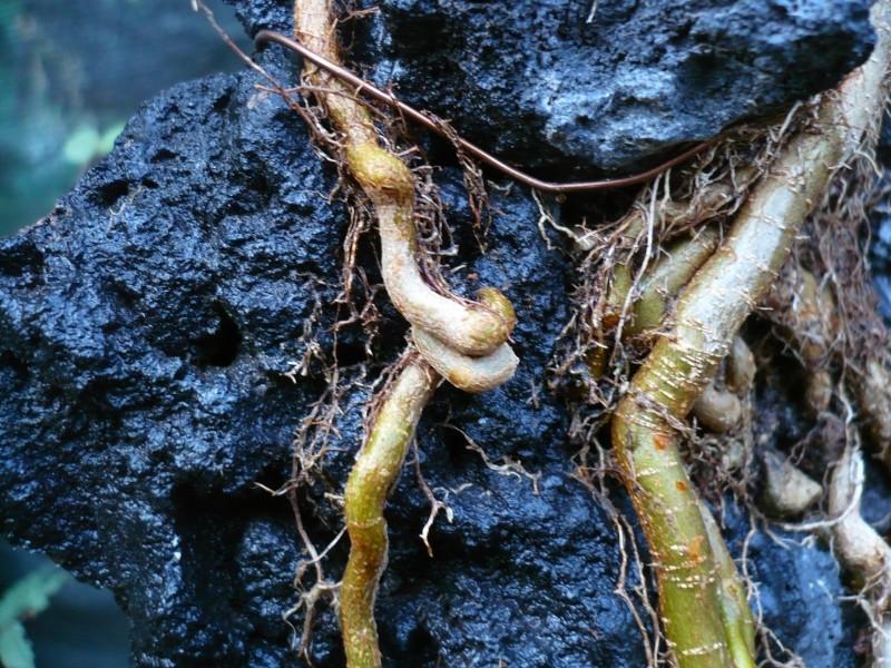 Un futuro bonsai.....acero su roccia. P1070116