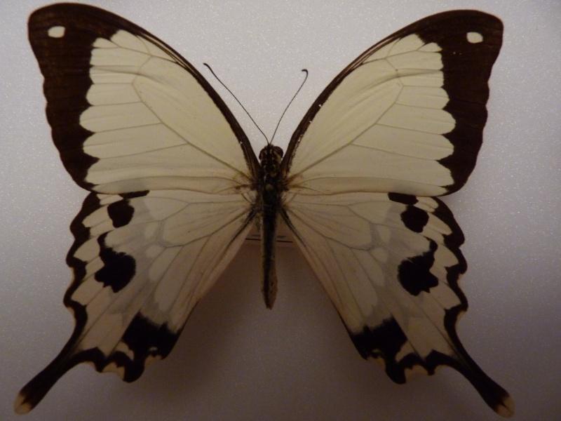 Lepidos RCA et Madagascar P1030210